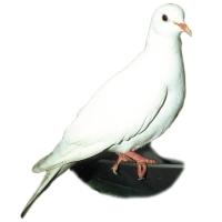 Friggen Dove