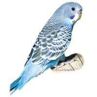 Friggen Parakeet